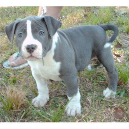 Reinrassige American Pit Bull Terrier Welpen Fn